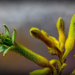 Kangeroepoot - Anigozanthos flavidus