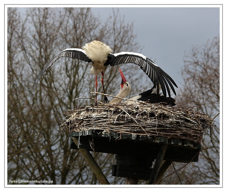 Ooievaars - Ooievaars<br /> Deze was druk bezig,met een nest.<br /> Was een prachtig ,gezicht.<br />  Heb een hele serie van gemaakt.<br /> <br />