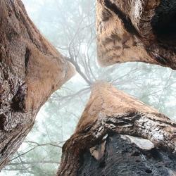Sequoia Triplets