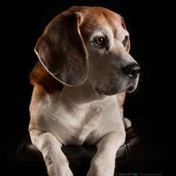 Kayne (Beagle)