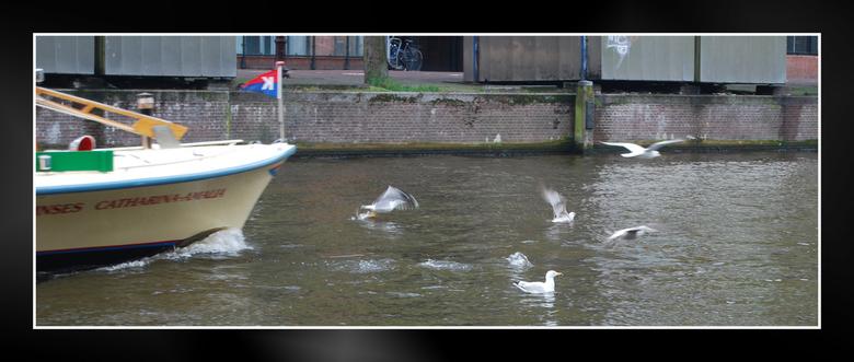 Opvliegers - Opvliegende meeuwen voor de rondvaartboot, Amsterdam. 26-04-2009
