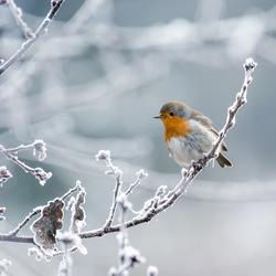 Roodborstje op een winterstakje