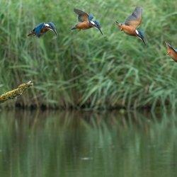 IJsvogel duikt van de hoge....