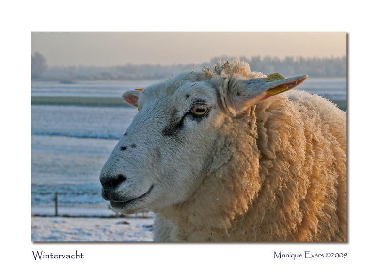 Wintervacht - Deze winter komt het toch heel goed van pas als je zo&#039;n mooie wintervacht hebt die je lekker warm houd.<br /> De schapen stonden i