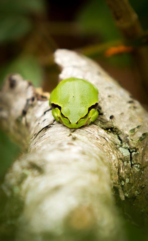 Boomkikker - Niets dat de lente zo inluidt als het ontwaken van de boomkikkers.