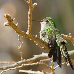 Cubaanse Smaragd kolibri (Cuba)
