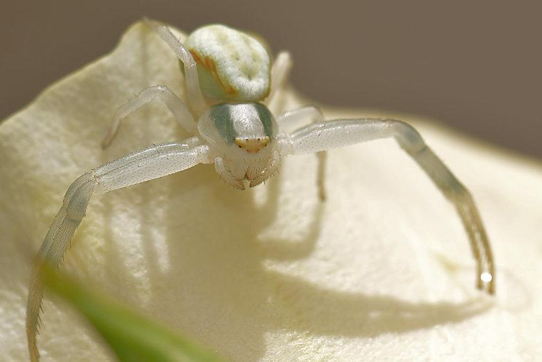 Nogmaals... - mijn favoriete spin de Krabspin.
