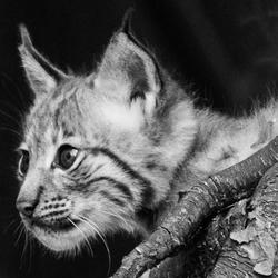 Welpje van een lynx