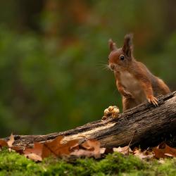 buiging eekhoorn