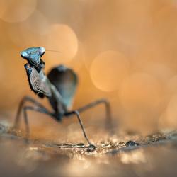 Sparkling mantis