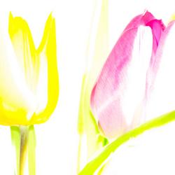 abstracte Tulpen