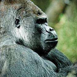 BAAS de silverback gorilla in Artis