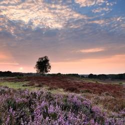 Deze zomer toch nog wat bloeiende heide op de Veluwe gevonden.