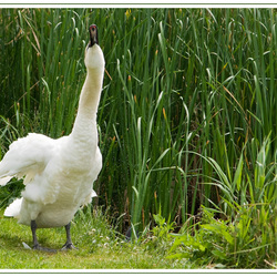 Shaking swan