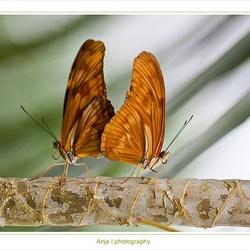 Vlinders gespot