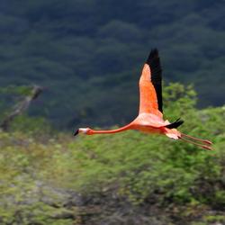 Flamingo op Bonaire