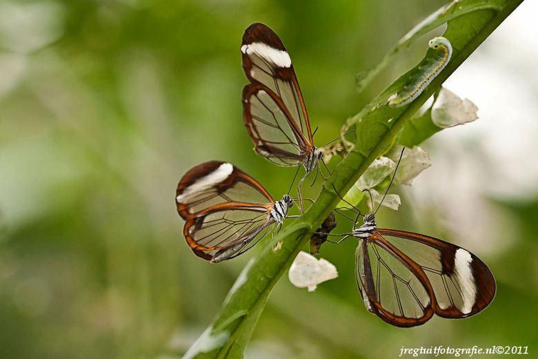Vlinders - Leuke vlinders gespot bij de vlindertuin van de Orchideeenhoeve in Noord oost Flevoland.<br />