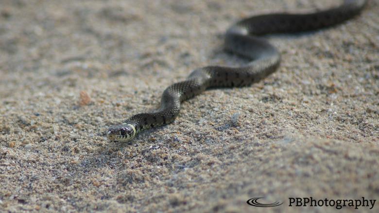 Snake @ the beach -
