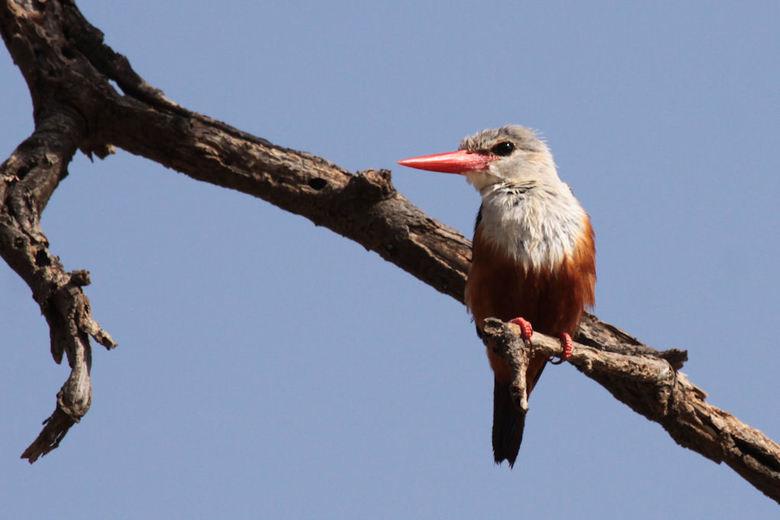 Grey-headed Kingfisher  - Deze opname van het ijsvogeltje heb ik gemaakt vanuit het restaurant in het Ashnil Samburu Camp in het Sambura National Rese