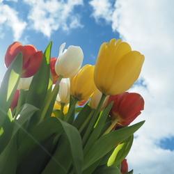 Bosje tulpen