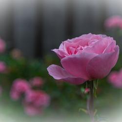 Roos voor alle Zoomers