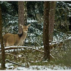 Hinde in de sneeuw