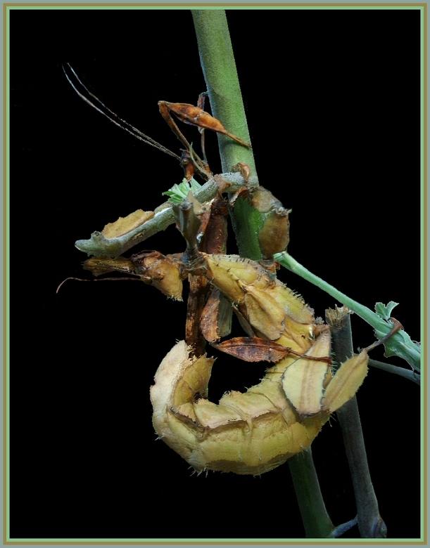 Wandelende takken-paar - Exotosoma tiaratum PSG9-paar, zelf gekweekt en in de tuin gefotografeerd, gevleugeld mannetje (donkerbruin, achter) en vrouwt