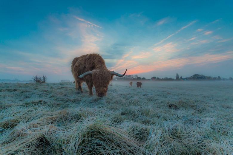 Moning blues - De Schotse Hooglanders worden langzaam wakker. Na een koude nacht is het gras nog licht bevroren. De zon probeert vertwijfelt door de m