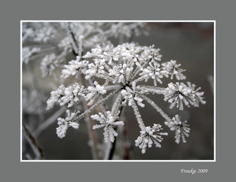 ijsbeer-klauw - Ook eentje genomen op oudejaarsdag toen alles nog mooi wit was.<br /> Bedankt voor de reacties op mijn vorige upload .<br /> Groetje