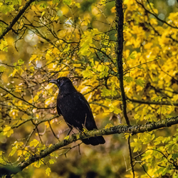 Corvus in the tree