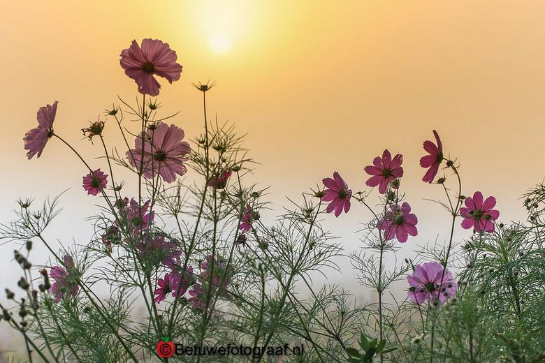 Cosmea's in de mistige zonsopkomst........ - Prachtig licht als de zon door de mist opkomt........
