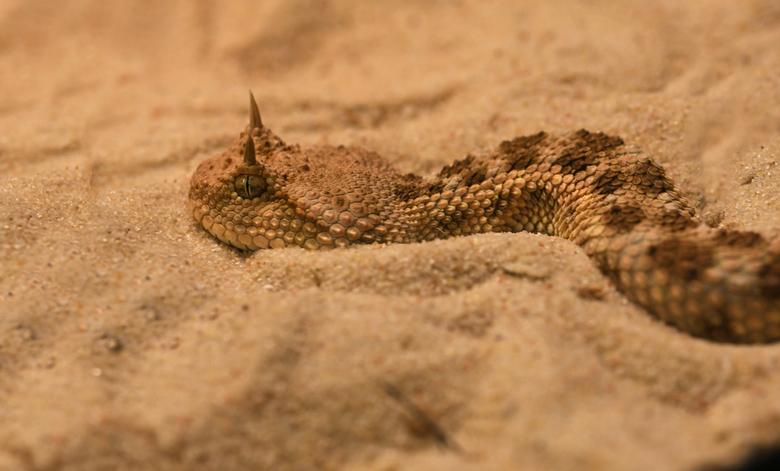 klein ettertje - De hoornadder is maar klein, volwassen 30 tot 60 cm. Deze adder verbergt zich in het zand, alleen de ogen komen boven het zand uit. D