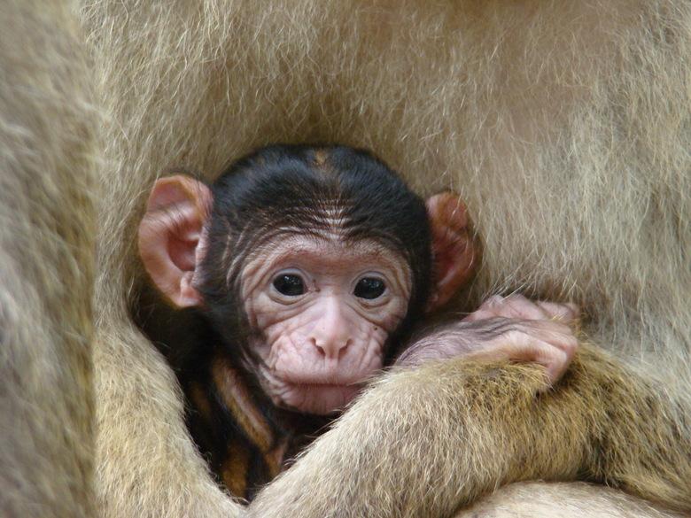 Jong Berber aapje - Mammie