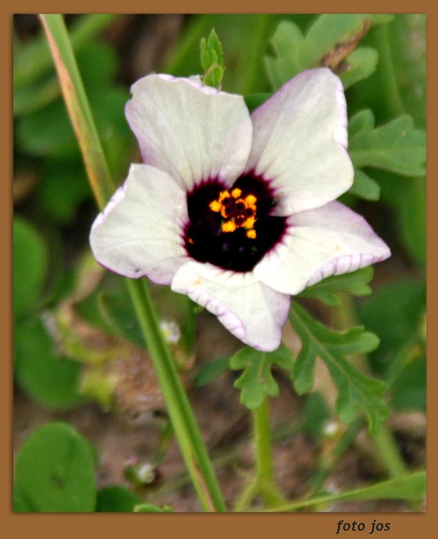Bloemetje - Zomaar een bloemetje in het wild gevonden tijdens 'n wandeling. Ik weet niet hoe deze heet.