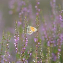 hooibeestje in het mooie paarse landschap