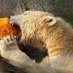 IJsbeer versus Pompoen  ...