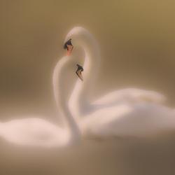 Love between swans