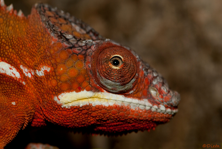 Kameleon - @Tropical Zoo....de Berkenhof Kwadendamme...