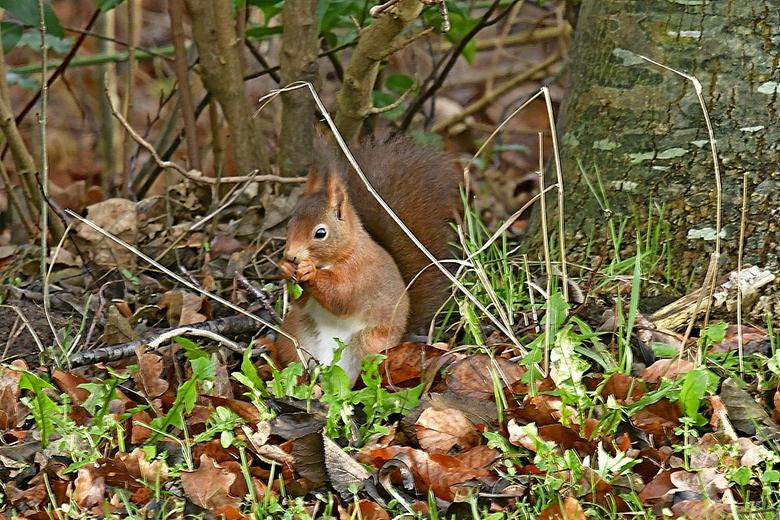 Eekhoorn 16-1-20 Westerwolde - Eekhoorn
