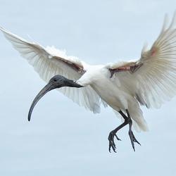 vliegende witte ibis