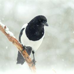ekster in wintersetting