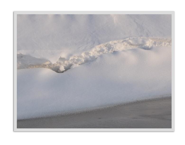 barst -  levend wit  in de sneeuw