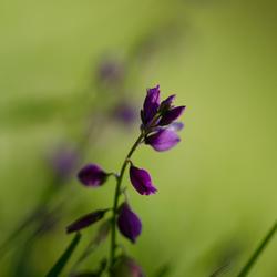 paars tussen het groen