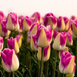 nationale tulpen dag 2020