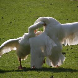 Goose fight 2