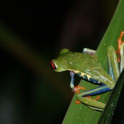 Kikker in Costa Rica