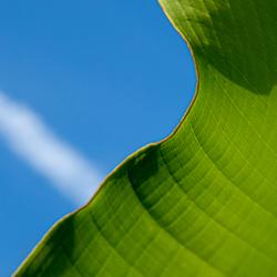 Bananenblad (2)