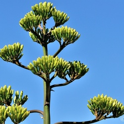 Bloemknoppen Agave.