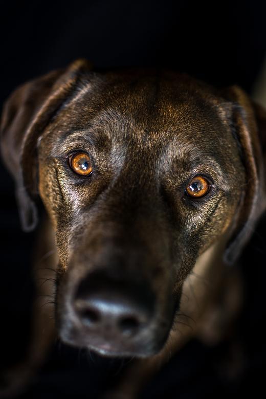 De intense hondenogen - Begonnen met honden fotografie onder het label Scruffy's Vriendjes