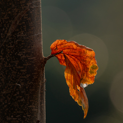When the last leaf falls .......